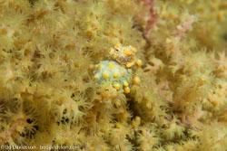 BD-140314-Padre-Burgos-1873-Hippocampus-denise.-Lourie---Randall.-2003-[Denise's-pygmy-seahorse].jpg